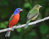 Painted Bunting 6056 8X10
