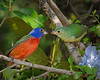 Painted Buntings 5770