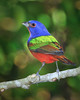 Painted Bunting 5642
