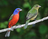 Painted Bunting 6056