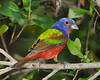 Painted Buntings 5793