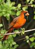 Cardinal 194