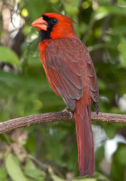 Cardinal 1242