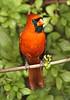 Cardinal 192