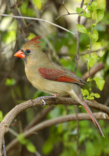 Cardinal Female 1009