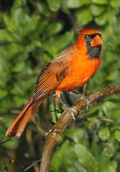 Cardinal 182