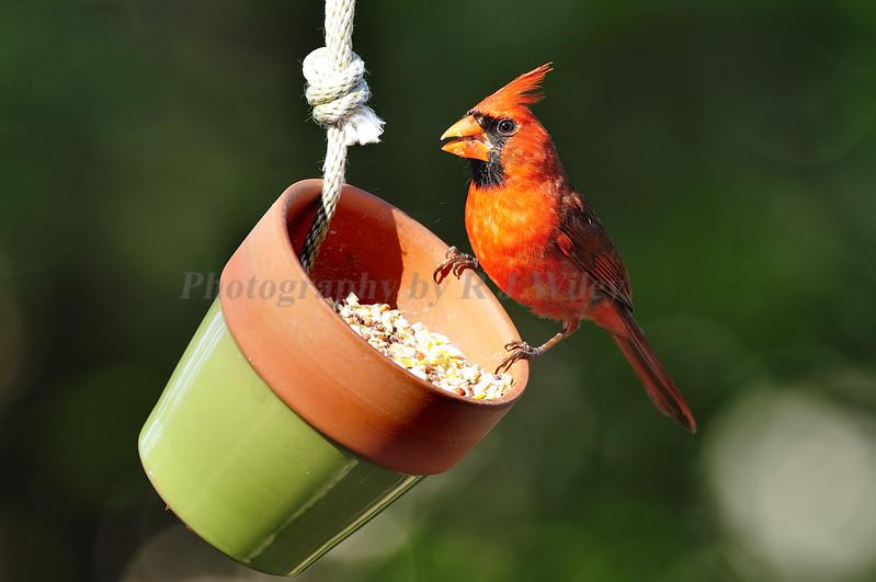 Cardinal 368