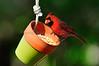 Cardinal 397