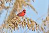 Cardinal 2393