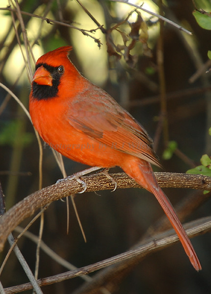 Cardinal  9519