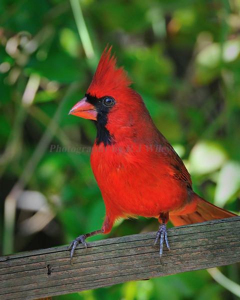 Cardinal 4283