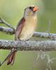 Cardinal female7190