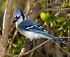 Blue Jay 1567 S