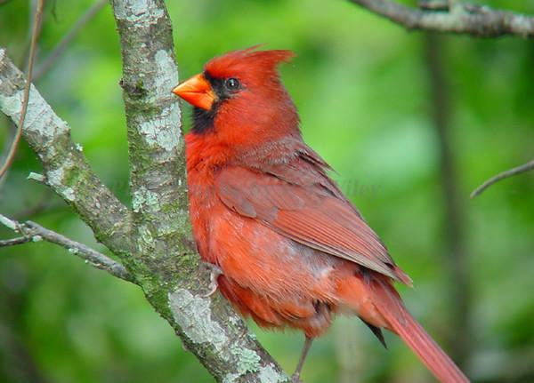 Cardinal 55