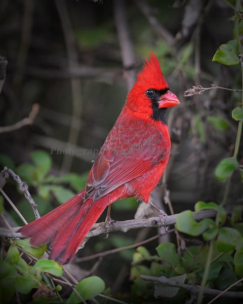 Cardinal 1492
