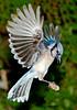 Blue Jay 6598