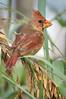 Cardinal 2542