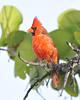 Cardinal 2454
