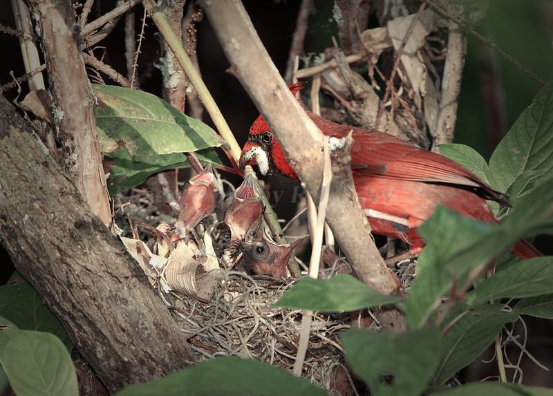 Cardinal and chicks 9064