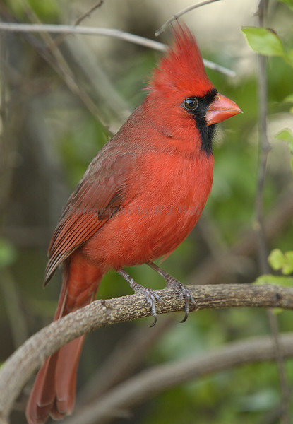 Cardinal 0957