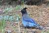 Blue Jay3513