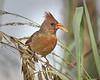 Cardinal 2496