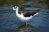 Blk Neck Stilt  296