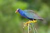 Purple Gallinule 6004