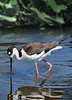 Blk Neck Stilt 9939