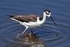 Blk Neck Stilt  375