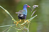 Purple Gallinule 6034