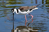 Blk Neck Stilt  285