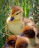 Duck 1333