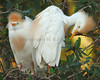 Cattle Egrets 5180