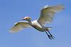 Cattle Egret 223