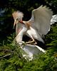 Cattle Egrets967