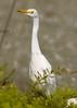 Cattle Egret 3024