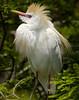 Cattle Egret 720