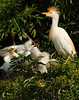 Cattle Egret and chicks3342