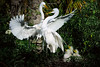 Egrets Great 1778