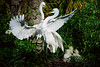 Egrets Great 1778 a