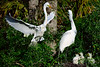 Egrets Great 1757