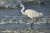 Reddish Egret morph 5470