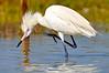 Reddish Egret morph 6385
