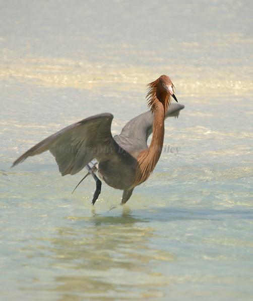 Reddish Egret 4068