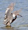 Reddish Egret 5597