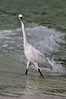 Reddish Egret morph5756