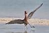 Reddish Egret 9840