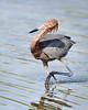 Reddish Egret 5648