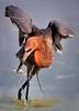 Reddish Egret 9971 a